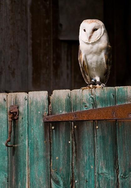 owl, wise owl, hibou