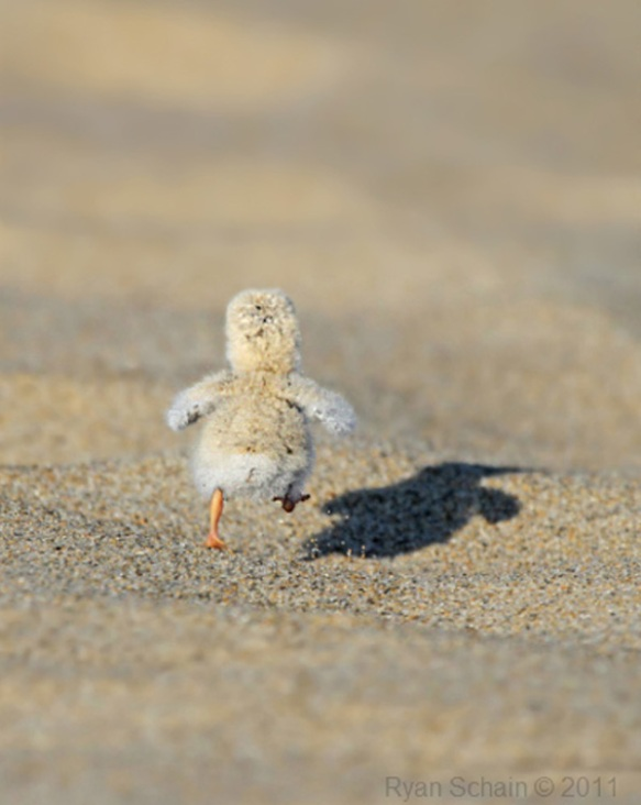 running chick on sand beach cute animal animals baby photography