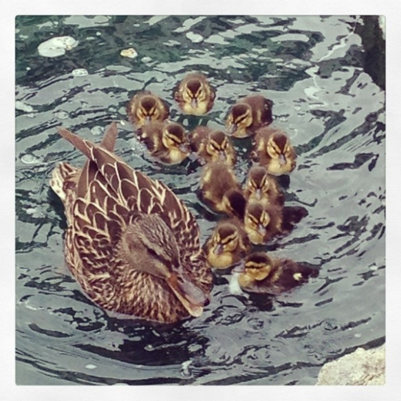 mother's day, duck and ducklings, duck, ducklings, wading in water, pond, feeding the ducks, a mother's love, new hatchlings