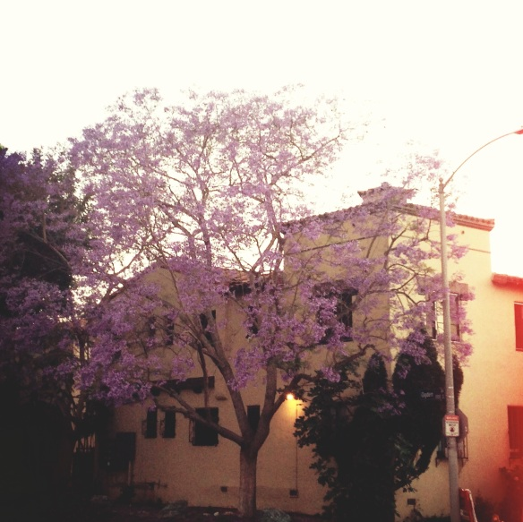 Jacaranda tree, purple rain, los angeles trees, biyearly bloom, unofficial summer, memorial day weekend