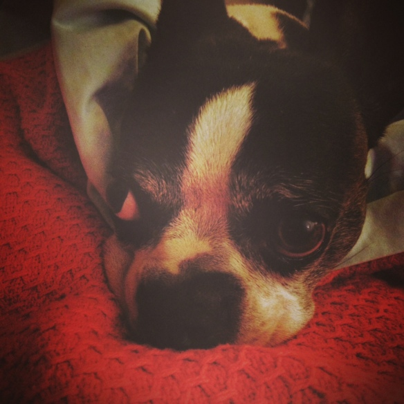 boston terrier, boston terriers, dog, cute, adorable, animals, puppy